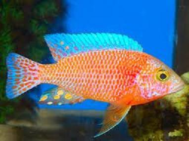 Aulonocara Fire Fish 10 a 12 cm (NOVO)