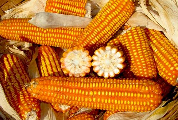 Sementes Milho BRS Caimbê ORGÂNICO - Saco 5 kg