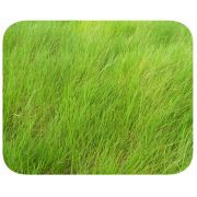 Sementes Humidícola - Caixa com 1,0 kg - (50%VC)