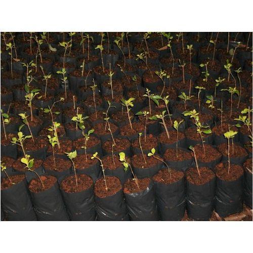 Saco Saquinho Plástico Para Mudas 08 X 15  5000 Unidades  - Casafaz