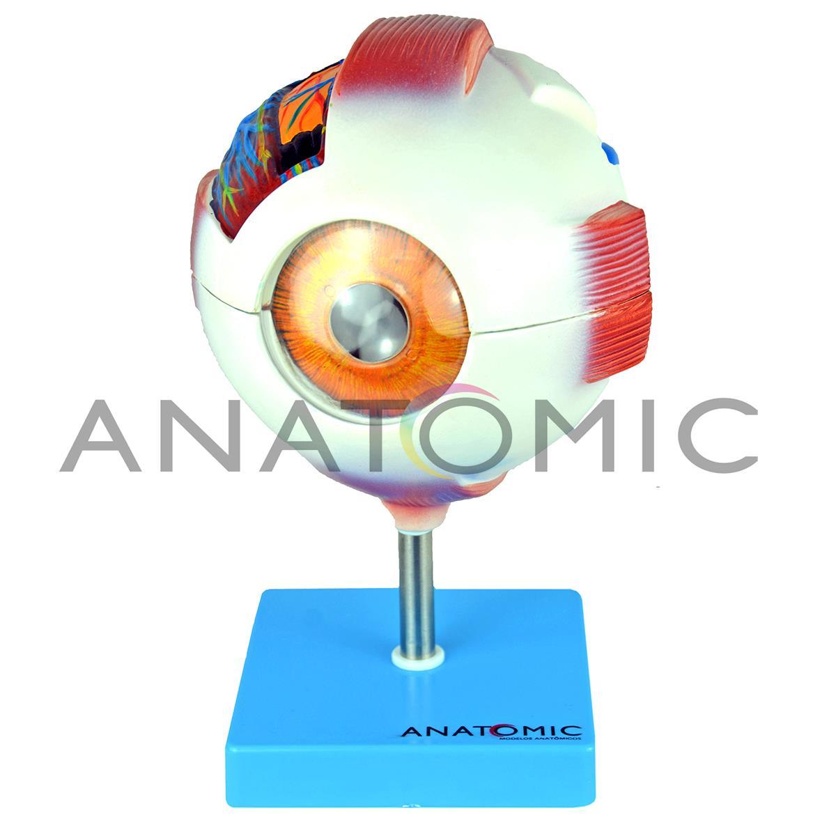 ANATOMIA DO OLHO EM 8 PARTES TGD-0307 - ANATOMIC