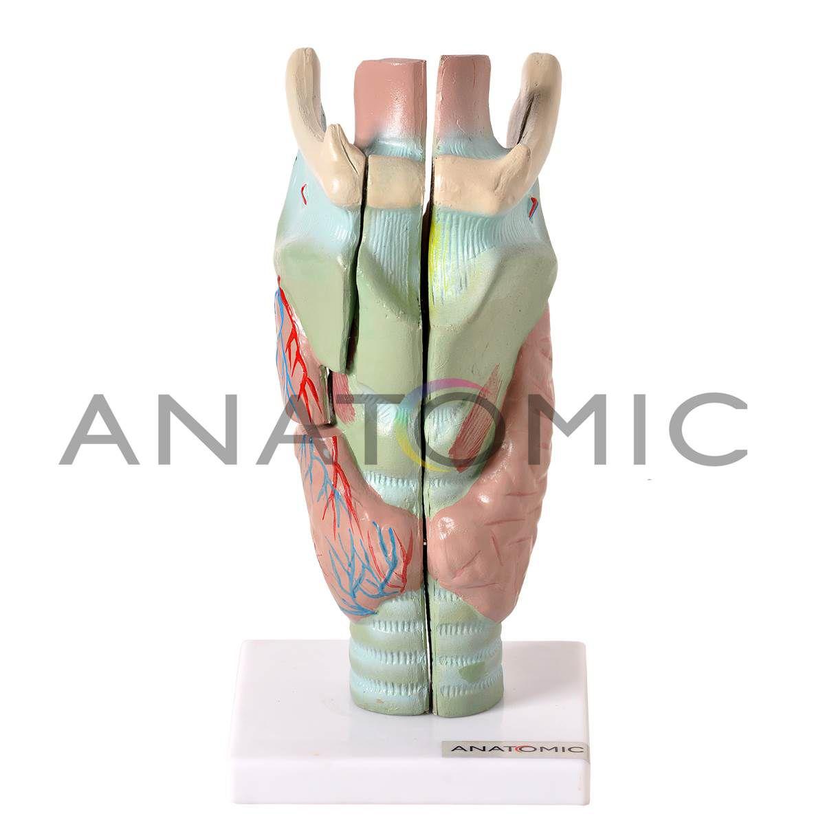 Laringe Ampliada em 3 Partes - Anatomic