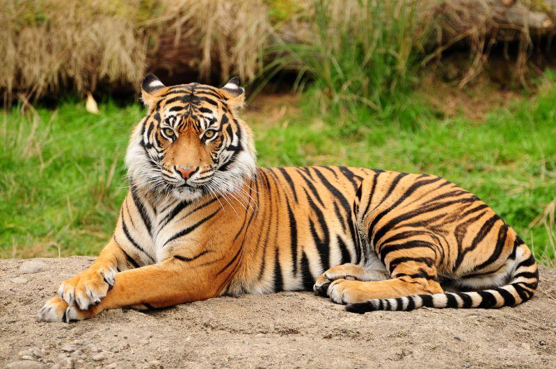 Papel Parede tigre