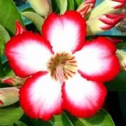 Muda de Rosa do Deserto Adenium Cor sortida (de 15 a 27 cm de altura)