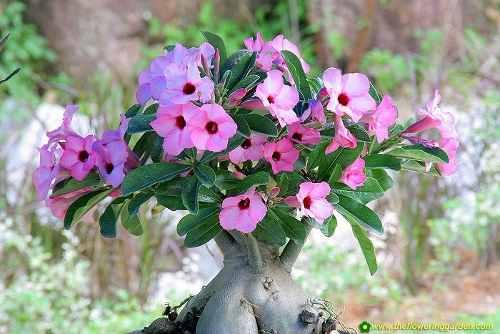 Rosa Do Deserto - 5  Anos  - Adenium