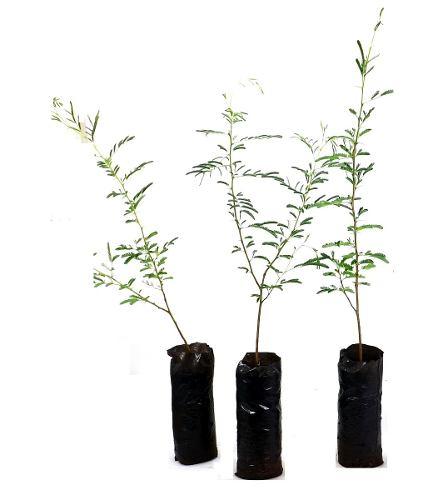 Muda de Acacia Seyal Enxertada ( Acacia Pompom )
