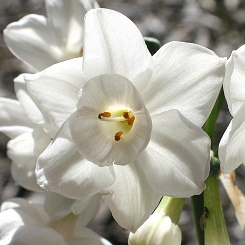 Narciso Paper White Branco - cartela com 4 bulbos