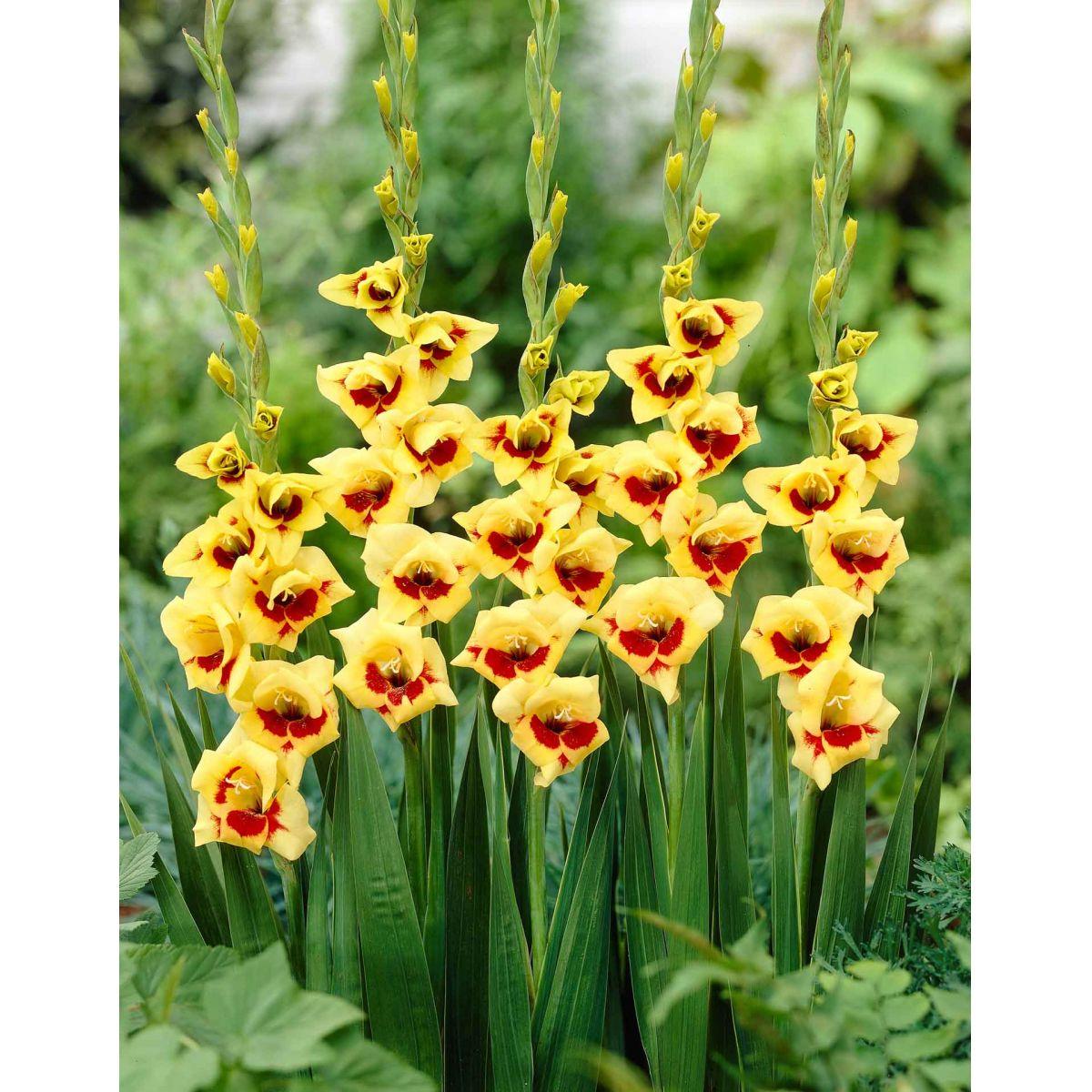 Gladiolos Sylvia cor amarelo/vermelho - cartela com 5 bulbos