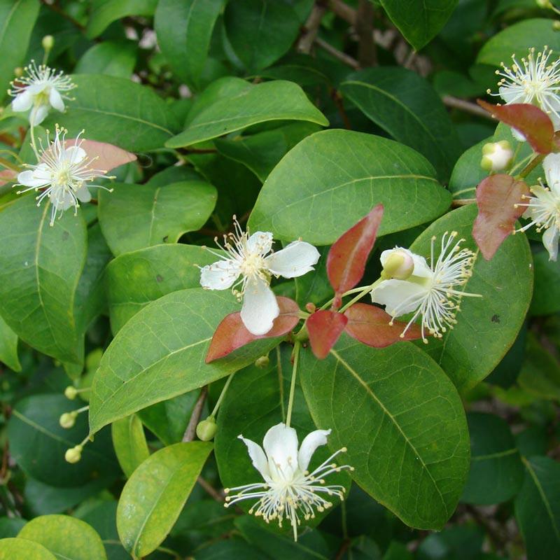 Muda de Cravo da Índia Eugenia caryophyllata