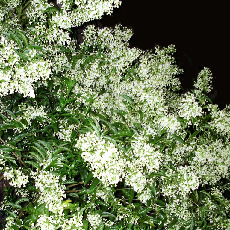 Muda de Dama da Noite Cheirosa estaca florindo