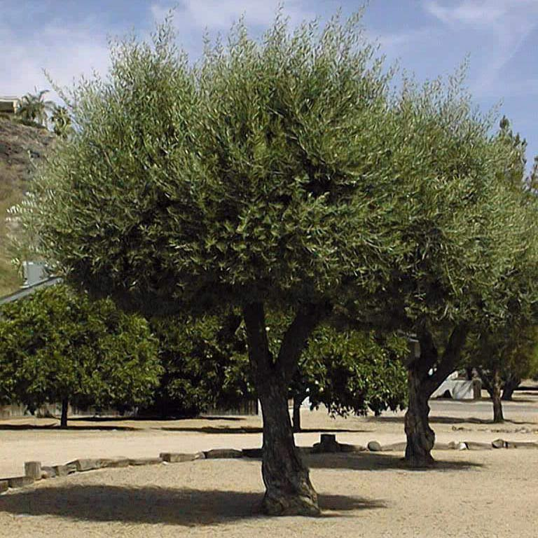 Muda de Oliveira Olea Europaea