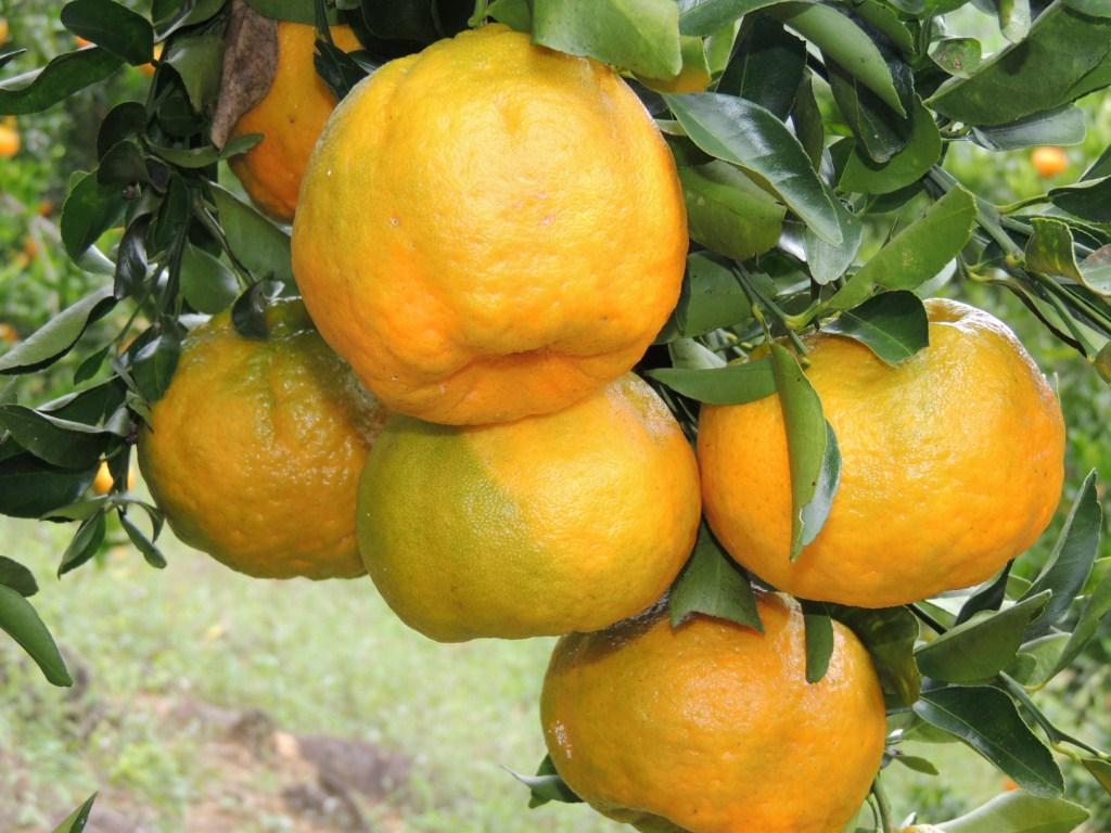 Muda de Tangerina Pokan - 1 unidade - Citrus reticulada Blanco