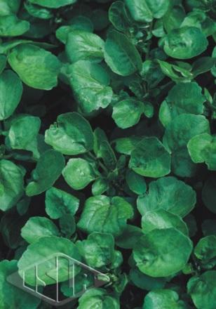Sementes de Agrião da Água folha larga - Isla Superpak