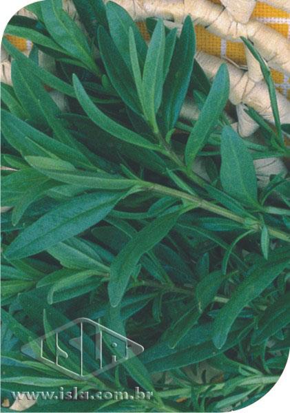 Sementes de Hissopo / Alfazema de Caboclo - Isla