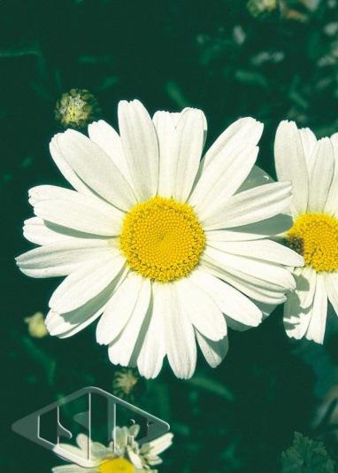 Sementes de Margarida Gigante Branca - Isla