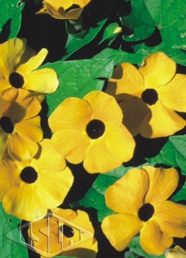 Sementes de Thumbergia Trepadeira Amarelinha - Isla Multi