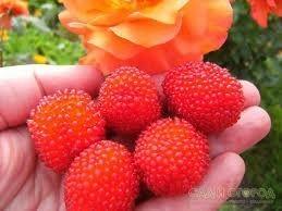 Mudas De Amora Negra Gigante Tupy Rubus Nigra Tupy Belli Com Espinhos  - BELLI PLANTAS