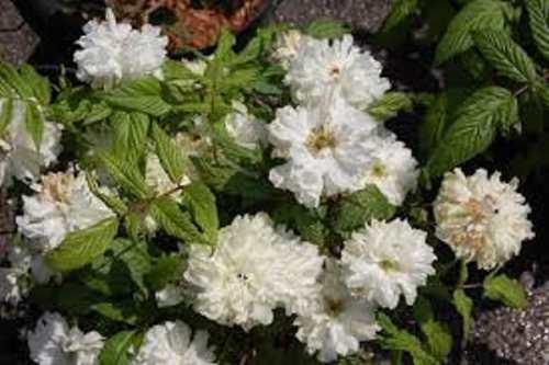 Mudas De Amora Rubus Coronarius Tapete De Nossa Senhora Ornamental  - BELLI PLANTAS