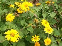 22 Tipos Sementes Pasto Apícolas Abelhas Apis Meliponas  - BELLI PLANTAS