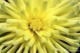 Bulbos De Dálias Cactus Amarelo Ouro Dahlia Gigante  - BELLI PLANTAS