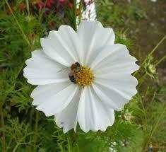 Sementes De Cosmos Branco Cosmea Picão Branco Sementes De Plantas