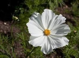 Sementes De Cosmos Branco Cosmea Picão Branco  - BELLI PLANTAS