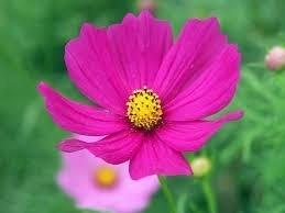 Sementes De Cosmos Pink  Cosmea Sortidos Picão Pink  - BELLI PLANTAS