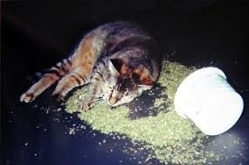 Sementes De Erva Dos Gatos Catnip do Gato Nepeta Cataria  - BELLI PLANTAS