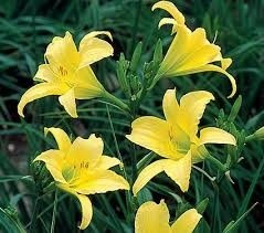 Mudas de Lirio Do Dia Dourado Amarelo Lírio Hemerocallis Bulbos Lírio de São José EM 40 CORES  - BELLI PLANTAS