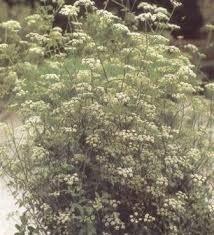 Sementes De Erva Doce Anis Pimpinella Anisum Erva Aromática  - BELLI PLANTAS