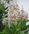 Mudas De Phaius Orquídea Da Terra Capuz-de-freira, Faios  - BELLI PLANTAS