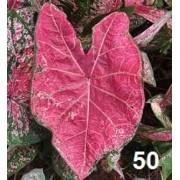 Bulbos De Caládio Caladium Tropical nr 50 Caládio Tinhorao Belli Plantas