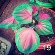 Bulbos De Caládio Caladium Coração Sanguíneo Nr 19 Belli Plantas