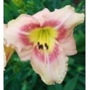 Mudas De Hemerocallis Rosa Mesclado Lírio Dia Saojose Bulbos