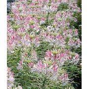 Sementes de 12 Plantas Apícolas Clima Quente Pólen Abelhas Melipona Apis