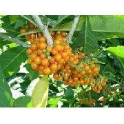 500 Sementes De Fruta Do Sabiá Marianeira