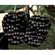 Mudas De Amora Negra Gigante Rubus Nigra Belli