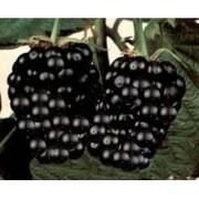 Mudas De Amora Negra Gigante Tupy Rubus Nigra Tupy Belli Com Espinhos