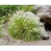 Sementes De Capim Do Texas Verde Pennisetum Setaceum