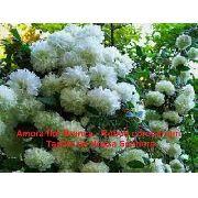 Mudas De Amora Rubus Coronarius Tapete De Nossa Senhora