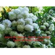Mudas De Amora Rubus Coronarius Tapete De Nossa Senhora Ornamental