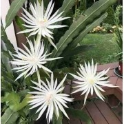 Cactos Orquídea Branca Hookeri Estrelada Dama da Noite Hookeri Epiphyllum Flor de baile Flor da Lua