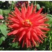 Bulbos De Dálias Vermelha tipo CACTOS Dahlia Gigante