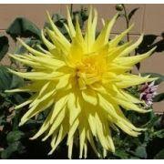 Bulbos De Dálias Cactus Amarelo Ouro Dahlia Gigante