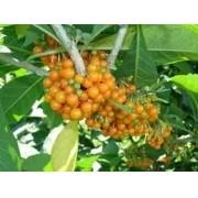 Sementes De Fruta Do Sabiá 200 unid Marianeira