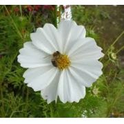 Sementes De Cosmos Branco Cosmea Picão Branco