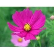 Sementes De Cosmos Pink  Cosmea Sortidos Picão Pink