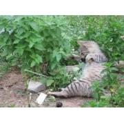 Sementes De Erva Dos Gatos Catnip do Gato Nepeta Cataria