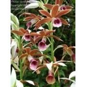 Mudas De Phaius Orquídea Da Terra Capuz-de-freira, Faios