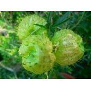Sementes De Paina-de-seda Asclepias Physocarpa Planta Balão Paina de Santa Bárbara Saco de Velho